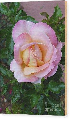 Pink Rose Flowering Wood Print by Paul Clinkunbroomer