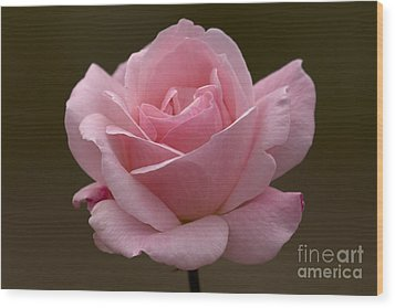 Wood Print featuring the photograph Pink Rose by Meg Rousher