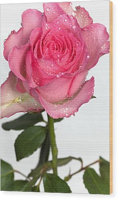 Pink Rose  Wood Print by Paul Lilley