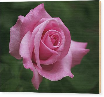 Pink Rose Perfection Wood Print by Rona Black