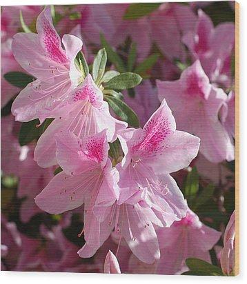 Pink Star Azaleas In Full Bloom Wood Print by Connie Fox