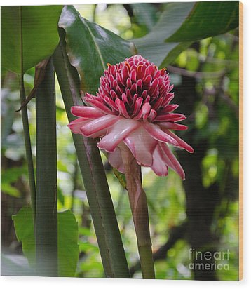 Pink Torch Ginger Wood Print