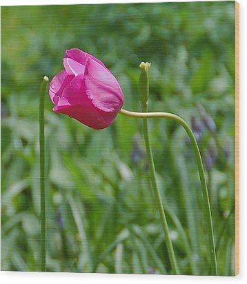 Wood Print featuring the photograph Pink Tulip by Aimee L Maher Photography and Art Visit ALMGallerydotcom