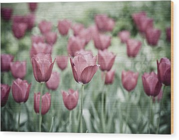 Pink Tulip Field Wood Print by Frank Tschakert