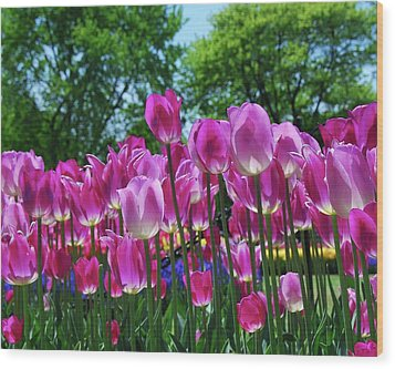 Wood Print featuring the photograph Pink Tulips by Allen Beatty