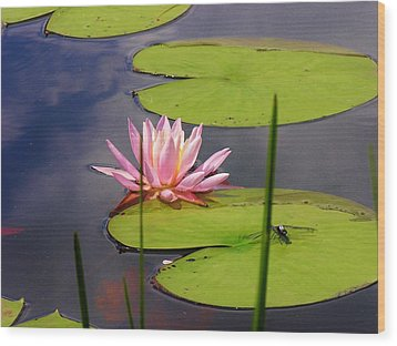 Pink Water Lily And Dragonfly Wood Print by Sherman Perry