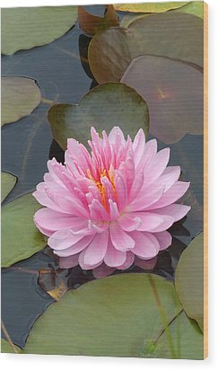 Pink Water Lily Wood Print by Cindy McDaniel