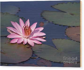 Pink Water Lily In The Spotlight Wood Print by Sabrina L Ryan