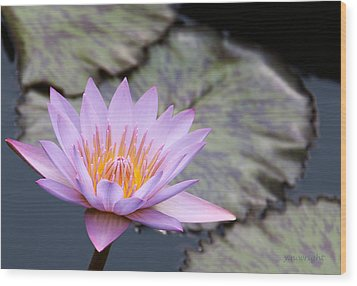 Pink Water Lily At Dusk Wood Print by Yvonne Wright