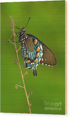 Pipevine Swallowtail Wood Print by Anthony Heflin