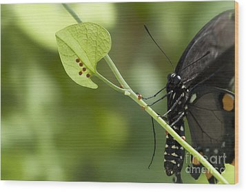 Wood Print featuring the photograph Pipevine Swallowtail Mother With Eggs by Meg Rousher