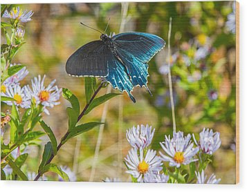 Pipevine Swallowtail On Asters Wood Print by John Haldane