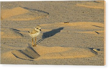 Piping Plover Chick Wood Print