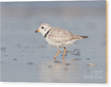 Piping Plover II Wood Print by Clarence Holmes