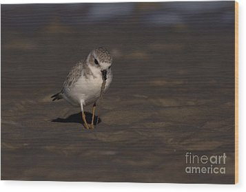 Piping Plover Photo Wood Print