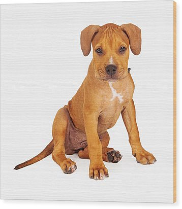 Pit Bull Puppy Fawn Color Wood Print by Susan Schmitz
