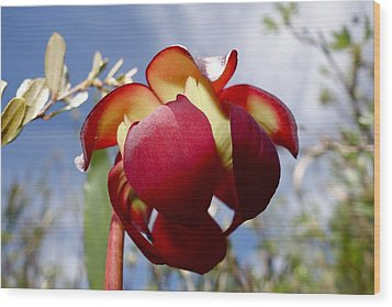 Pitcher Plant Blossom  #2 Wood Print by Sandra Updyke