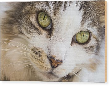 Wood Print featuring the photograph Pixie-bob 1 by Leigh Anne Meeks