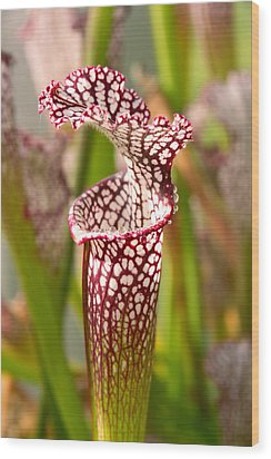 Plant - Pretty As A Pitcher Plant Wood Print by Mike Savad