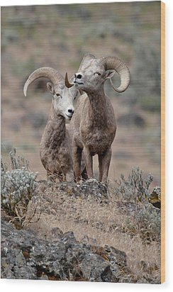 Wood Print featuring the photograph Playfull Rams by Athena Mckinzie