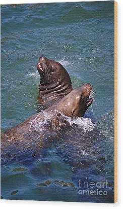 Wood Print featuring the photograph Playing Pair Of Sea Lions by Debra Thompson