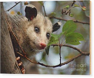 Playing Possum Wood Print by Nikolyn McDonald