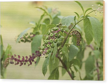 Wood Print featuring the photograph Pleasing To The Eye - Pokeweed Vine Art Print by Jane Eleanor Nicholas