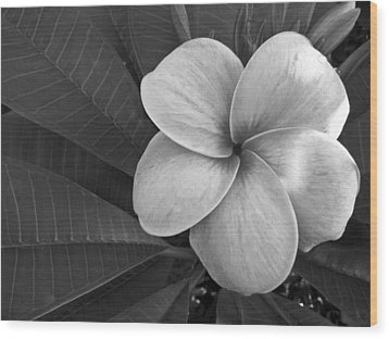 Plumeria With Raindrops Wood Print by Shane Kelly