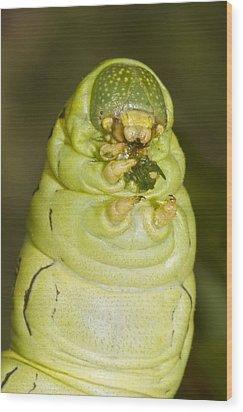 Plump Green Caterpillar Wood Print