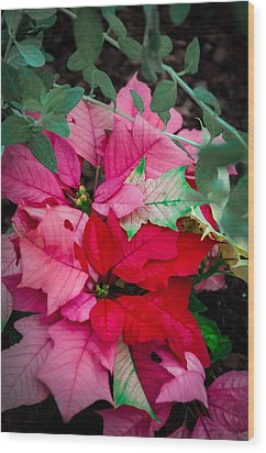 Poinsettias In Maturation Wood Print by Gene Sherrill