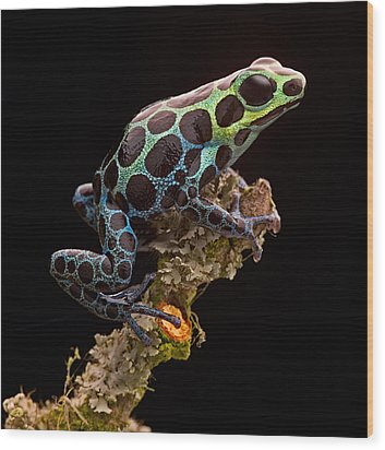 poison arrow frog Peru rain forest Wood Print