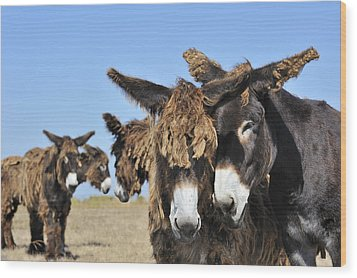 Wood Print featuring the photograph Poitou Donkey 3 by Arterra Picture Library