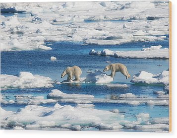 Polar Bear Cubs In Svalbard Wood Print by June Jacobsen
