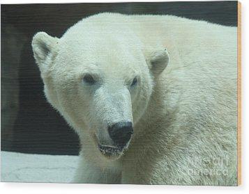 Polar Bear Head Shot Wood Print by John Telfer