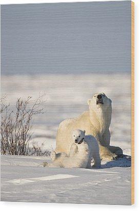 Polar Bear Watches Cubs Play Wood Print