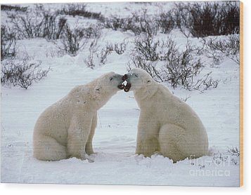 Polar Bears Sparring Wood Print by Francois Gohier