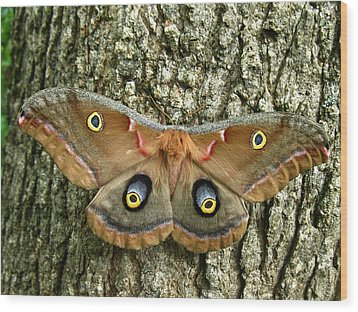 Wood Print featuring the photograph Polyphemus Moth by William Tanneberger