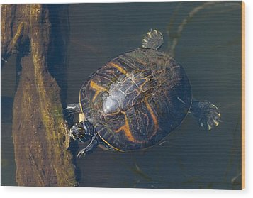 Pond Slider Turtle Wood Print by Rudy Umans