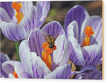 Popping Spring Crocus Wood Print by Debbie Oppermann