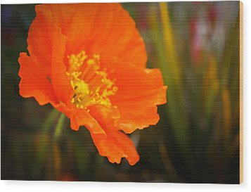 Poppy Emerges Like The Sun Wood Print by Ronda Broatch
