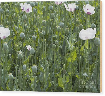 Poppy Field Wood Print by Michal Boubin