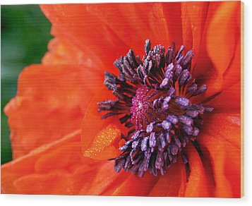 Poppy's Purple Passion Wood Print by Bill Pevlor