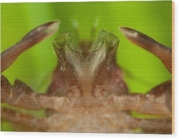 Porcelain Crab Wood Print by Science Photo Library