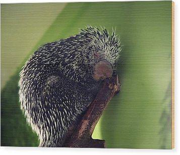 Porcupine Slumber Wood Print by Melanie Lankford Photography