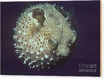 Porcupinefish Wood Print by Gregory G. Dimijian