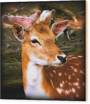 Portrait Male Fallow Deer Wood Print