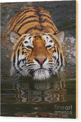 Portrait Of A Bathing Siberian Tiger Wood Print
