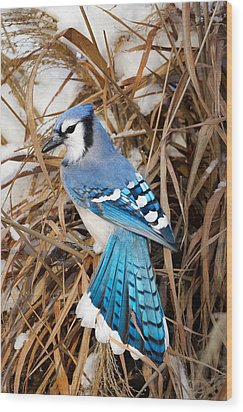 Portrait Of A Blue Jay Wood Print by Bill Wakeley