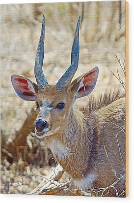 Portrait Of A Bushbuck In Kruger National Park-south Africa  Wood Print