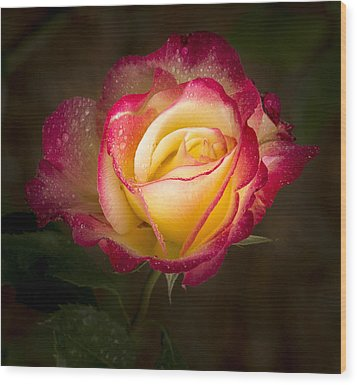 Portrait Of A Double Delight Rose Wood Print